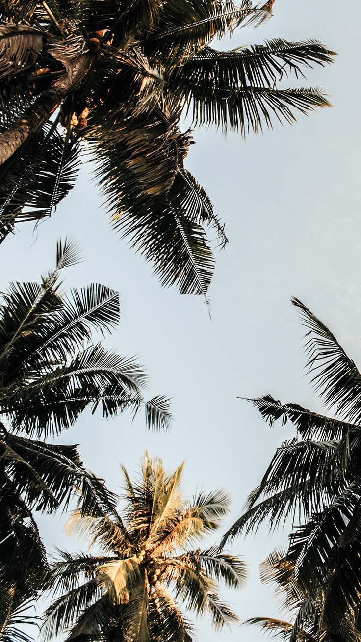 Palm Tree Wallpapers Let S Go Coconuts Enjoy 10 Tropical Iphone Wallpapers