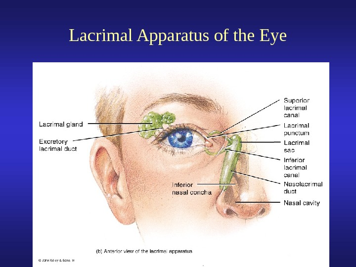 External Anatomy of the Eye Lacrimal Apparatus