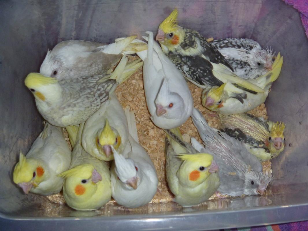 Wean Baby Cockatiels