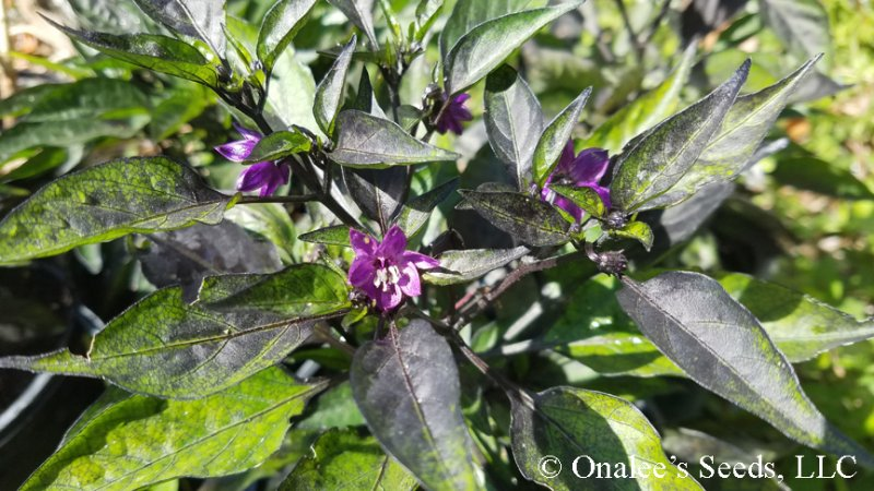 Capsicum Annuum Pretty In Purple, Hot Pepper Seeds, Capsicum Annuum