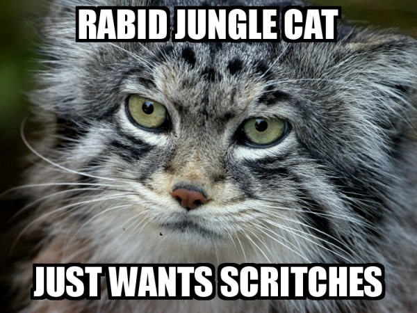 Rabid Jungle Cat Just Wants Scritches