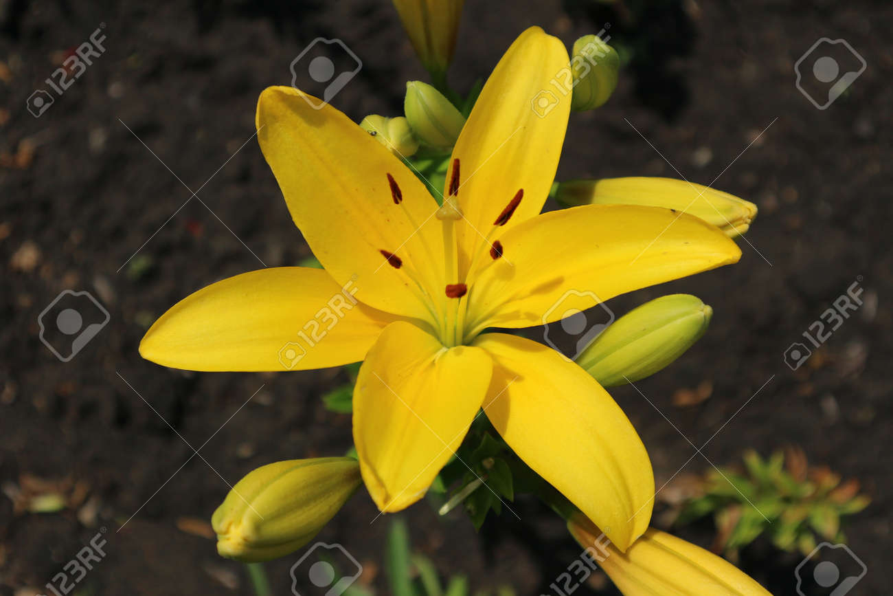 L A Hybrid Lilie Serrada Large Sunny Yellow Flower And Buds Stock Photo Picture And Royalty Free Image Image 81154719