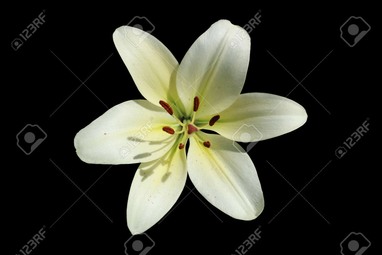 L A Hybrid Lilie Courier Large White Lime Flower Isolated Stock Photo Picture And Royalty Free Image Image 82092366