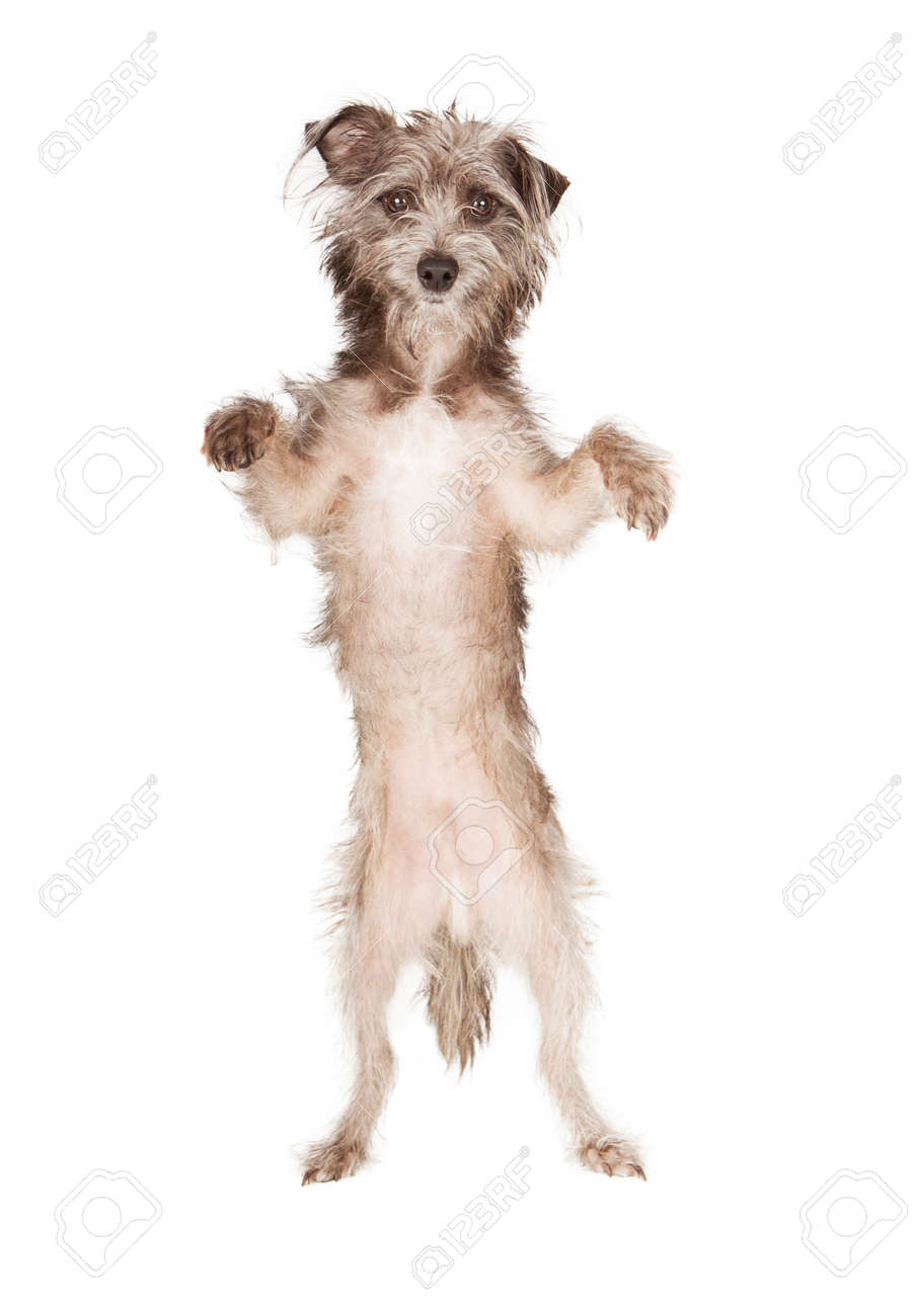 Compelling A Little Terrier Dog Standing Up On His Hind Legs Paws Dog Standing Upright Dog Standing Up S Paws A Little Terrier Dog Standing Up On His Hind Legs bark post Dog Standing Up