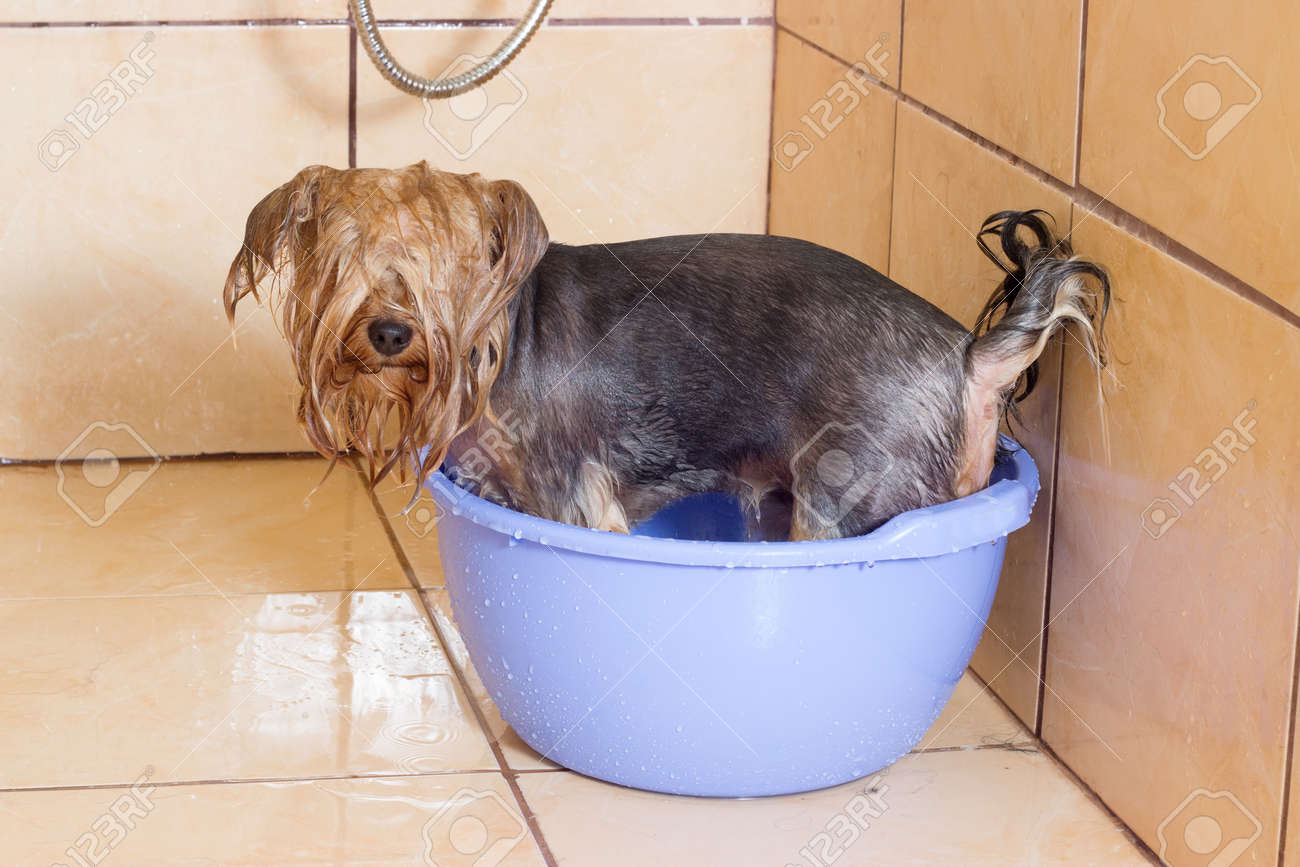Bagno Yorkshire Yorkshire Terrier Dog Taking A Bath In The Shower