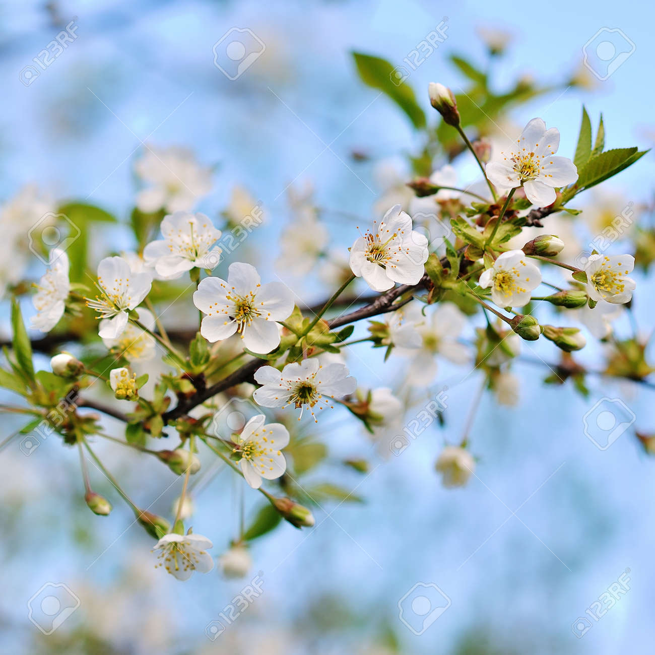 Jolly Background From Branches Michigan Flowering Trees Flowers