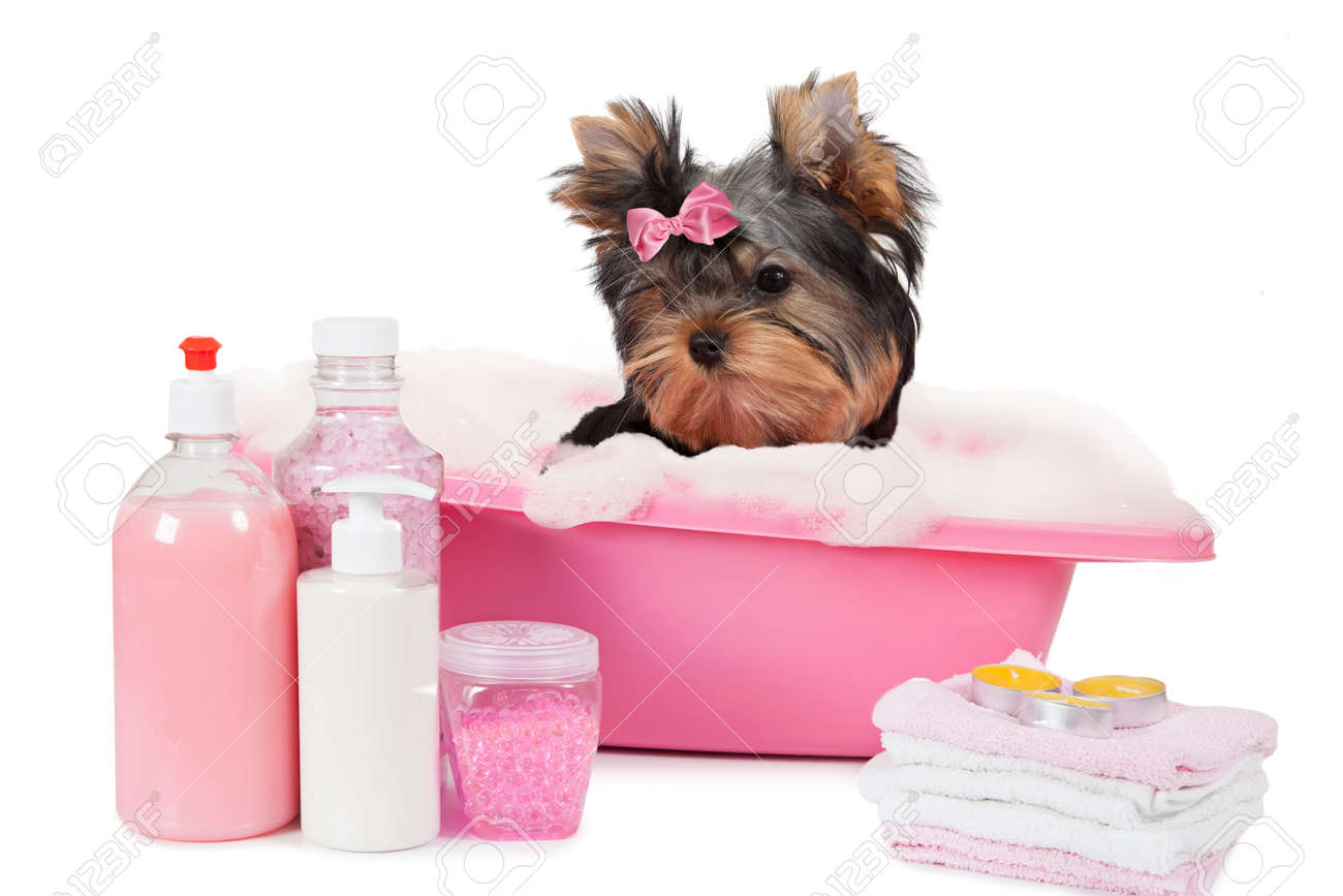 Bagno Yorkshire Yorkshire Terrier Dog Bathing In A Bubble Bath Isolated On White