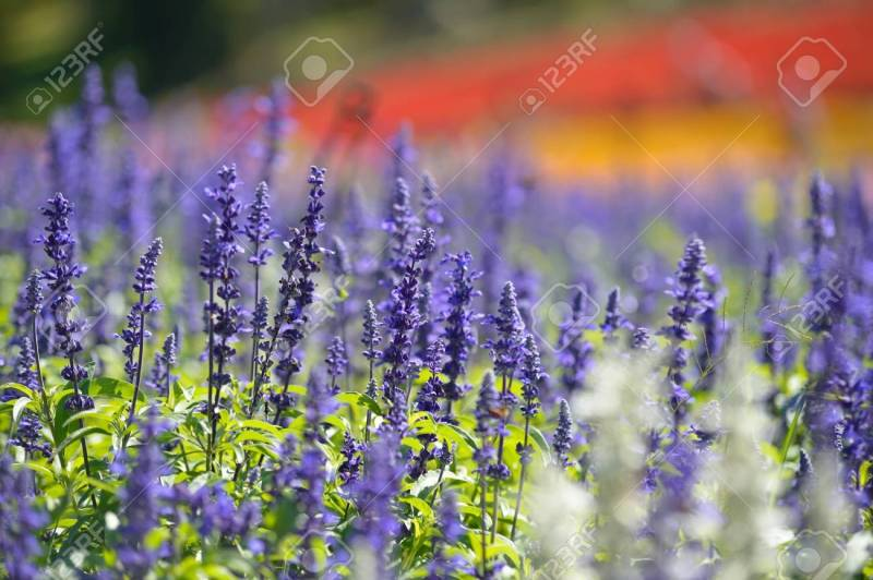 Large Of Lavender In Spanish