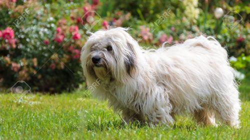 Medium Of Long Hair Dog