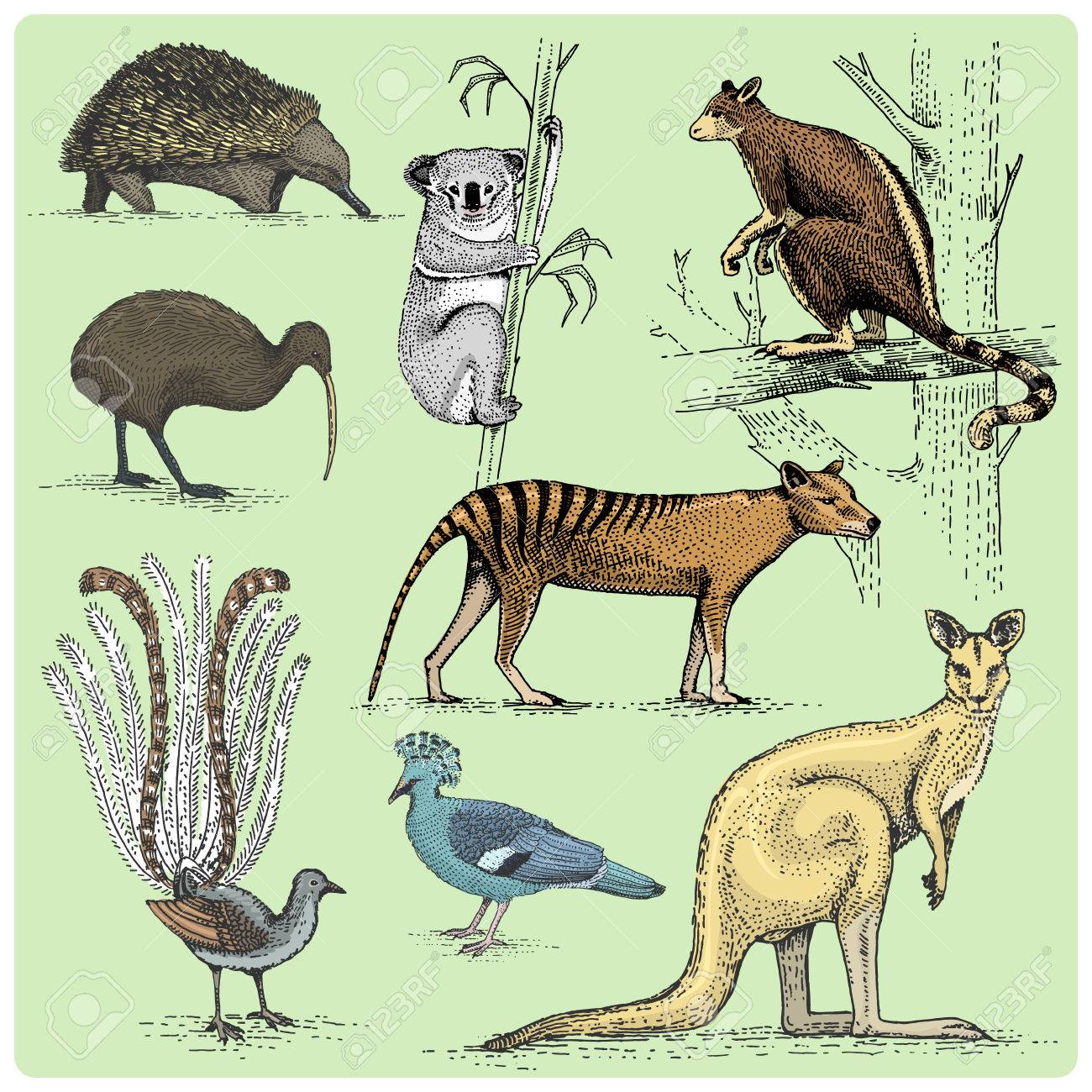 Australian Animals Drawings Set Of Australian Animals Engraved Hand Drawn Vector Illustration