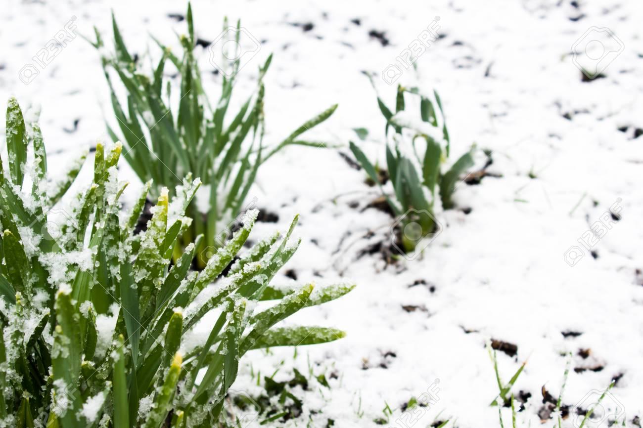 Fullsize Of Snow In Summer Plant
