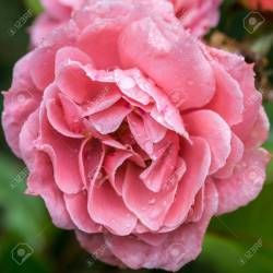 Small Of Queen Elizabeth Rose