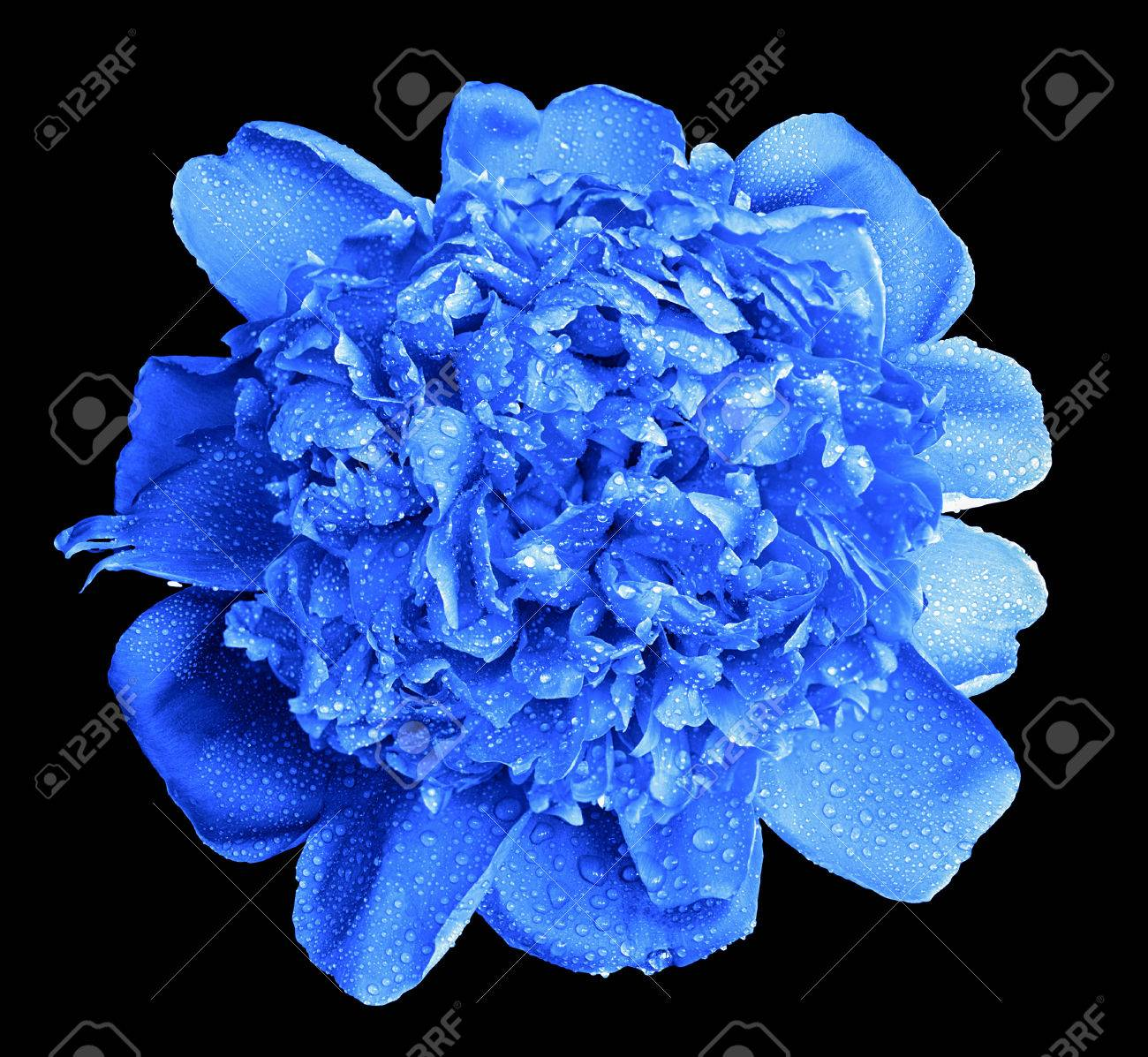 Pianese Flowers Surreal Wet Blue Peony Flower Macro Isolated On Black