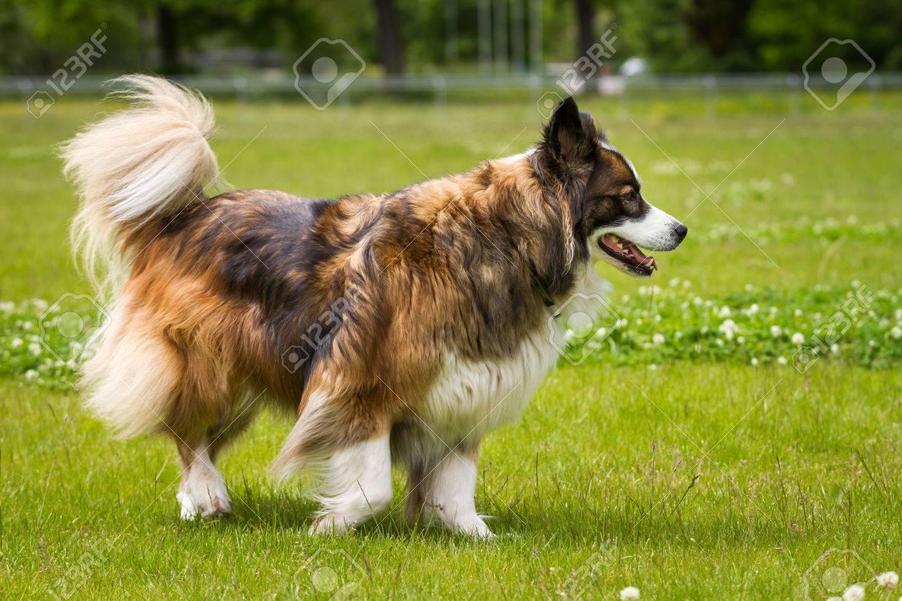 Modern A Large Long Hair Dog Runs On A Green Meadow Quite Comfortablystock A Large Long Hair Dog Runs On A Green Meadow Quite Long Hair Dog Grooming Long Haired Dog Breeds bark post Long Hair Dog
