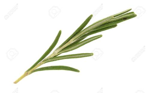 Intriguing Stock Photo View Organic Rosemary Isolated On A View A Small Sprig Rosemary Tattoo Sprig A Small Sprig Rosemary Cooking Organic Rosemary Isolated On A Sprig