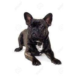 Cushty Call It A Bouledoguebran Dog Is Resting On A Clean Name Of Breed Is A French Some People Stock Photo Dog Is Resting On A Clean Name bark post French Dog Names