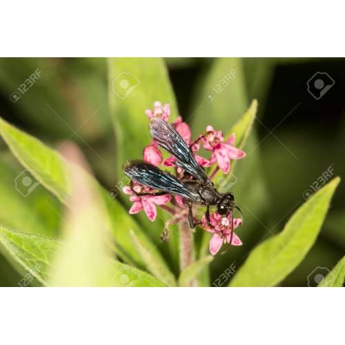Medium Crop Of Great Black Wasp