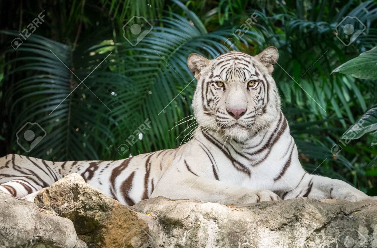 Attractive Tongue Staring At Me Meaning Stock Photo Bengal Tiger Laying On Rock Staring At Me Bengal Tiger Laying On Rock Staring At Me Stock Photo Staring At Me Tamil Your Lips bark post Staring At Me