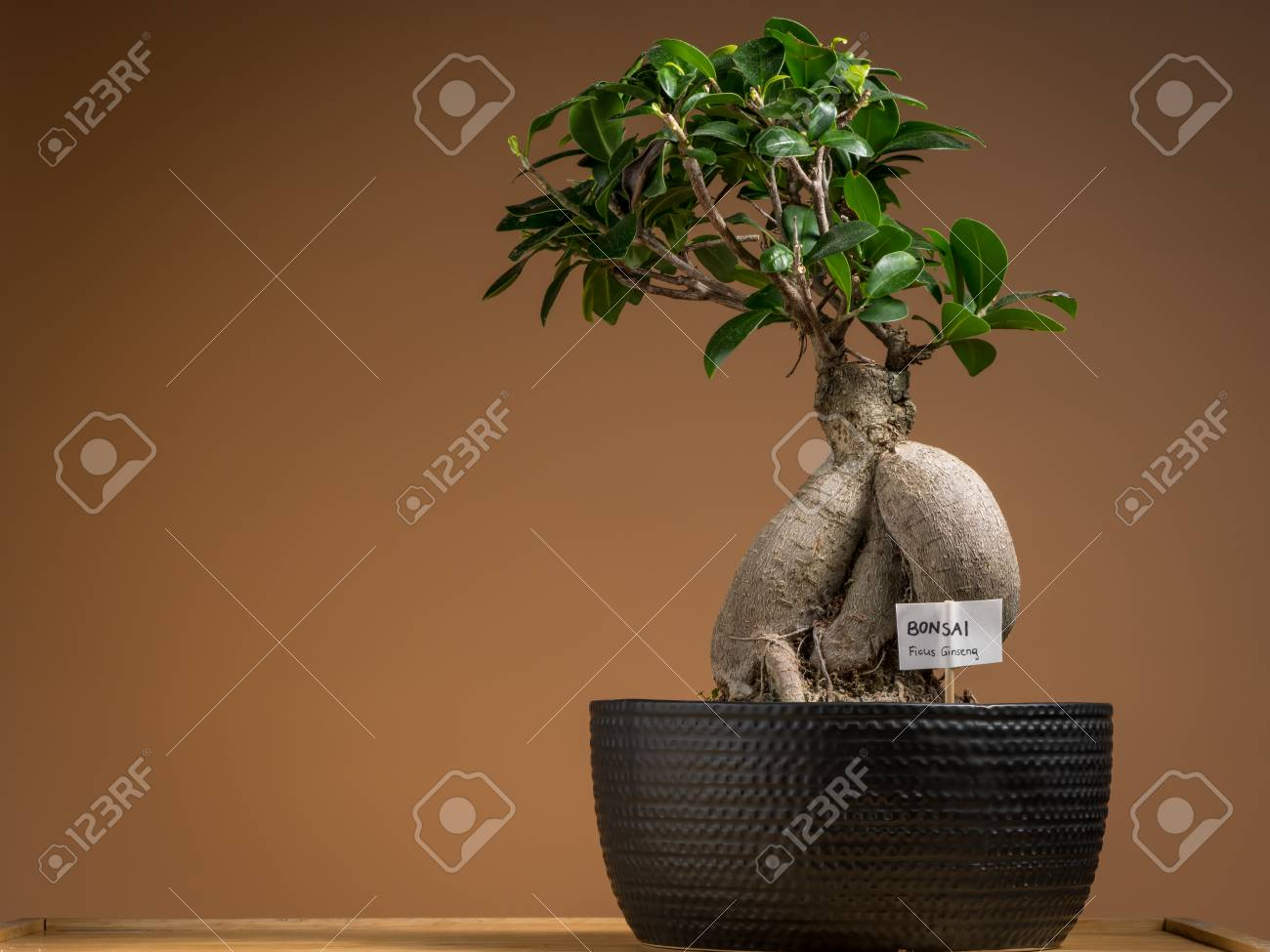 Ficus Ginseng Bonsai A Small Bonsai Ficus Tree Ficus Ginseng Planted In A Black