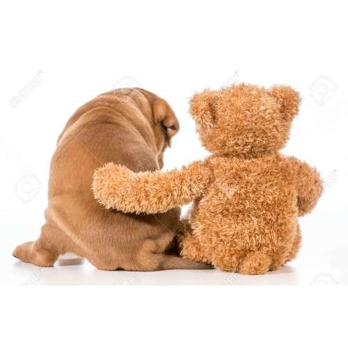 Medium Crop Of Teddy Bear Dog