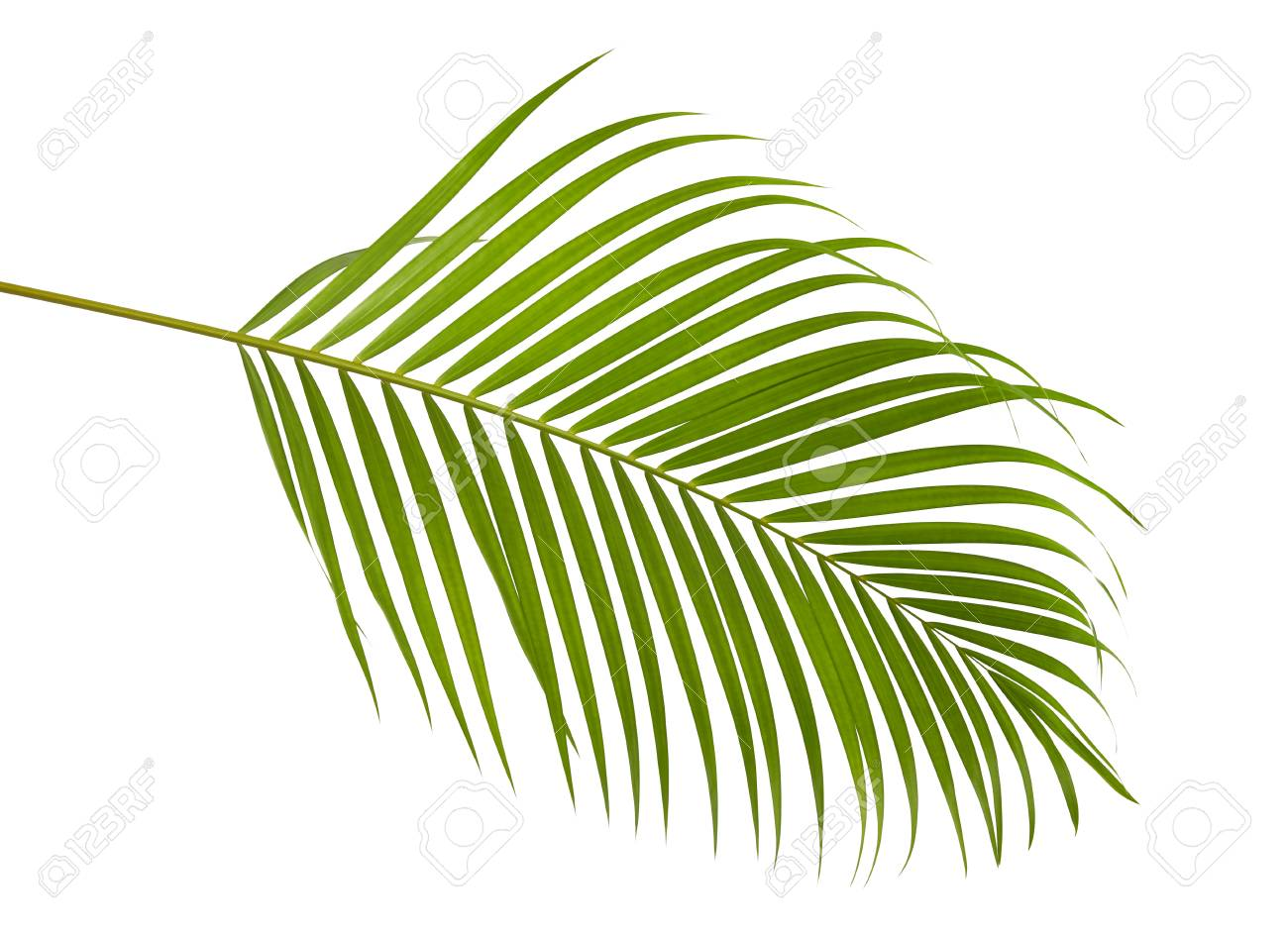 Yellow Palm Leaves Dypsis Lutescens Or Golden Cane Palm Areca Stock Photo Picture And Royalty Free Image Image 95038140