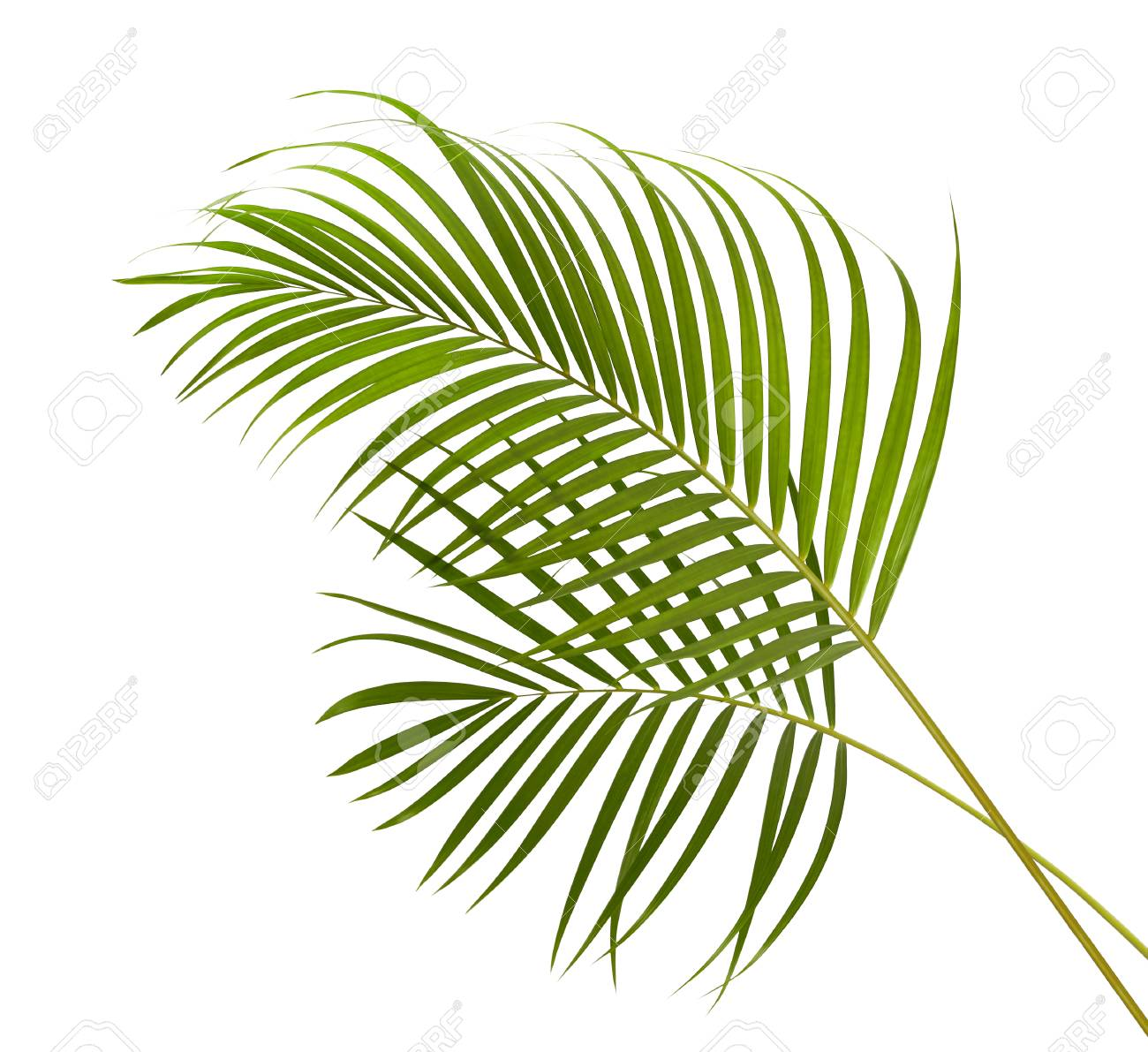 Yellow Palm Leaves Dypsis Lutescens Or Golden Cane Palm Areca Stock Photo Picture And Royalty Free Image Image 95038143