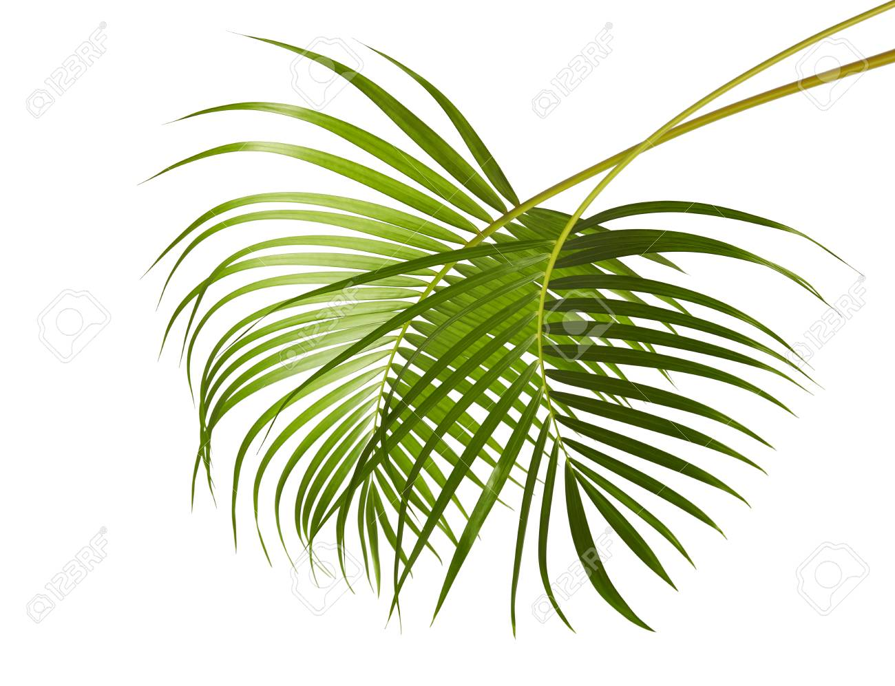 Yellow Palm Leaves Dypsis Lutescens Or Golden Cane Palm Areca Stock Photo Picture And Royalty Free Image Image 95038144