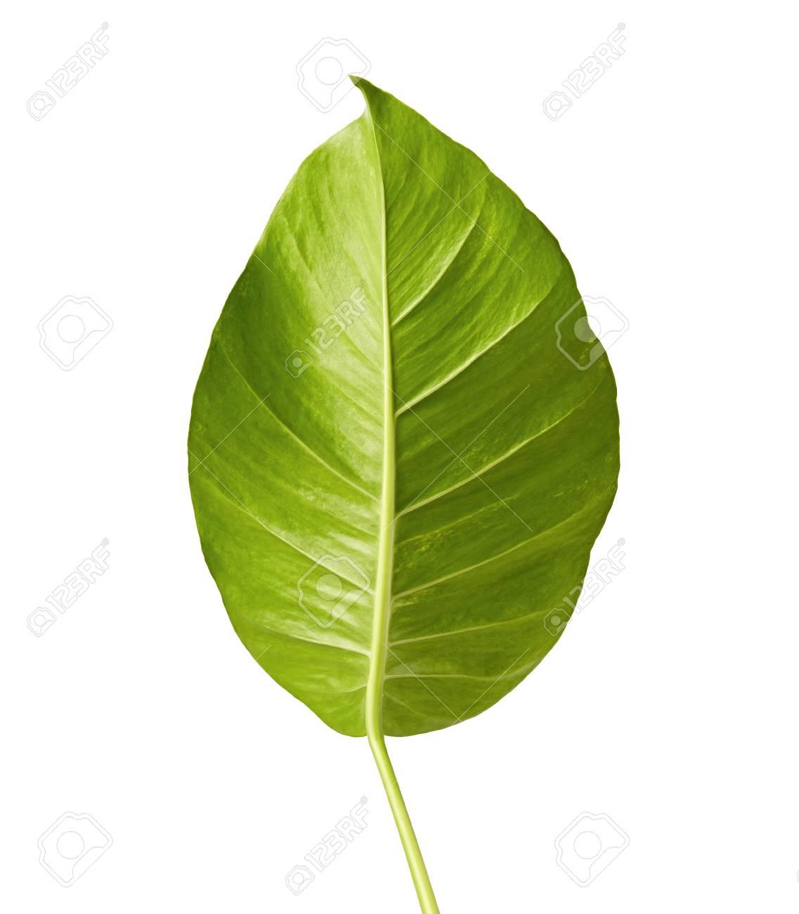 Fullsize Of Heart Shaped Leaves