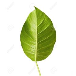 Small Crop Of Heart Shaped Leaves