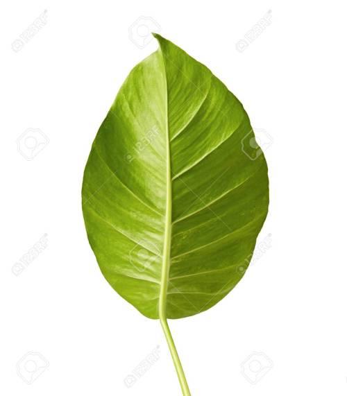 Medium Of Heart Shaped Leaves