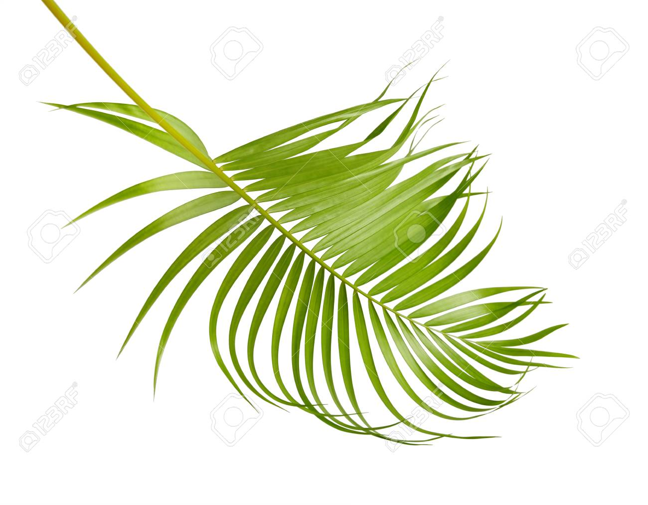 Yellow Palm Leaves Dypsis Lutescens Or Golden Cane Palm Areca Stock Photo Picture And Royalty Free Image Image 98888464