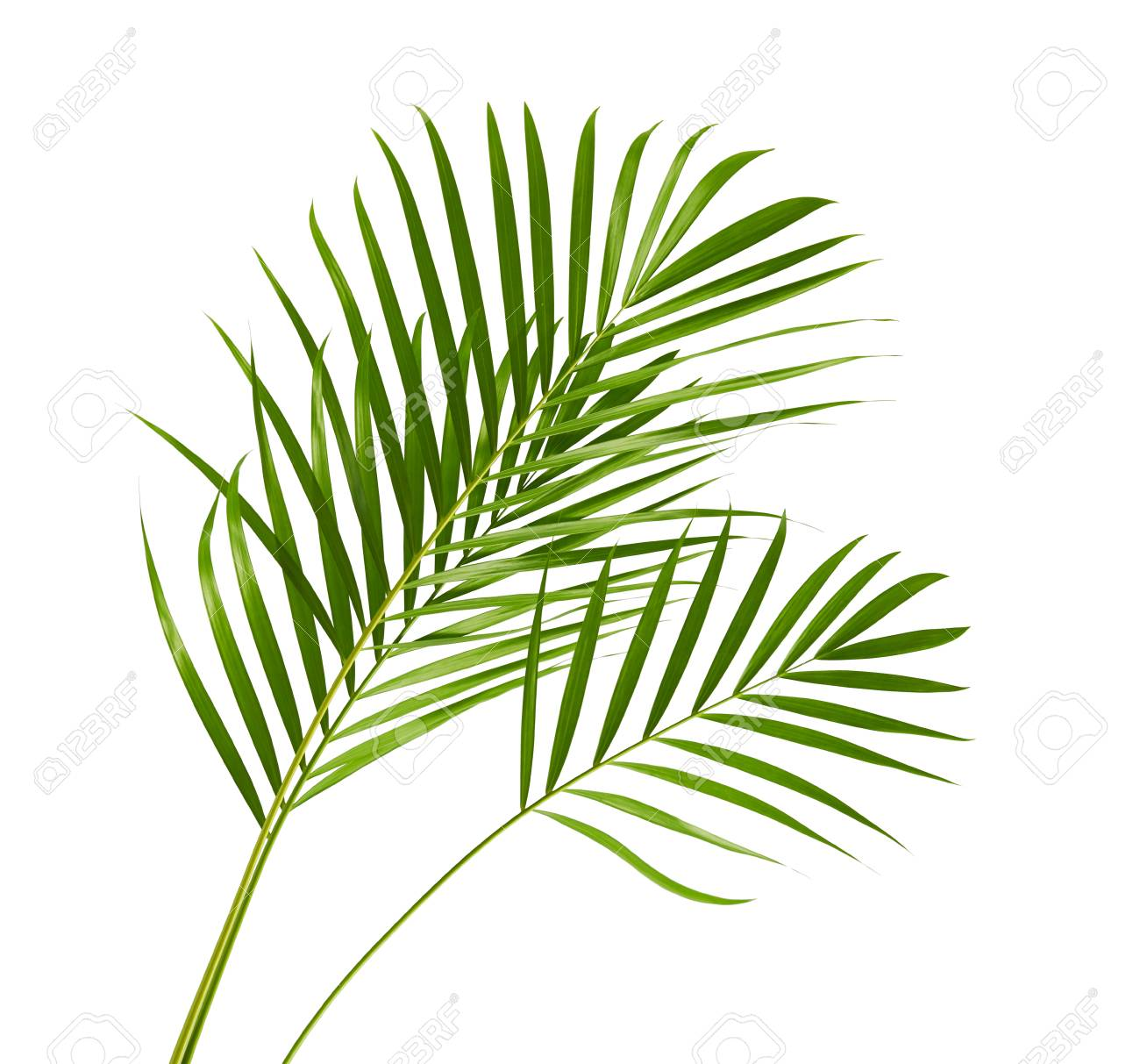 Yellow Palm Leaves Dypsis Lutescens Or Golden Cane Palm Areca Stock Photo Picture And Royalty Free Image Image 103939784