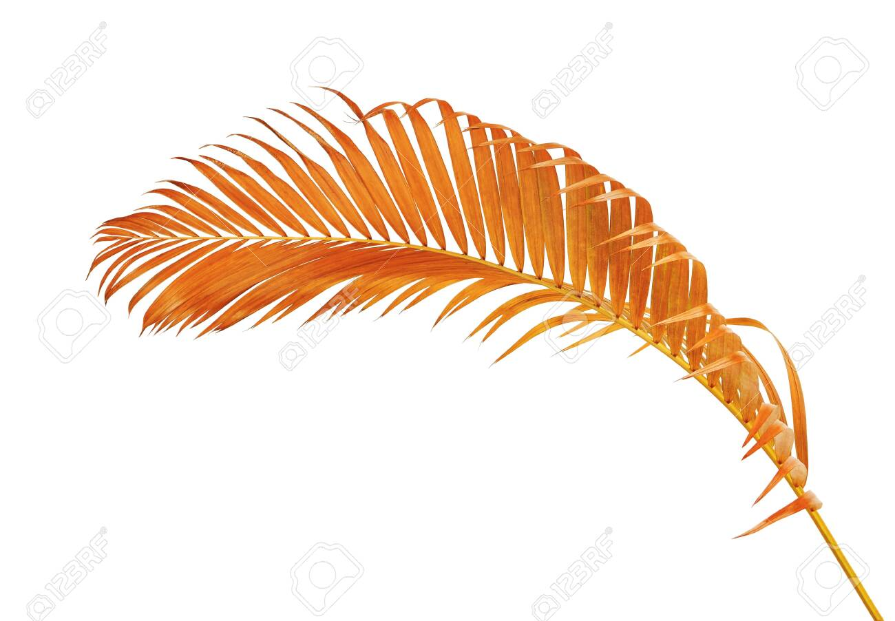 Yellow Palm Leaves Dypsis Lutescens Or Golden Cane Palm Areca Stock Photo Picture And Royalty Free Image Image 124089783