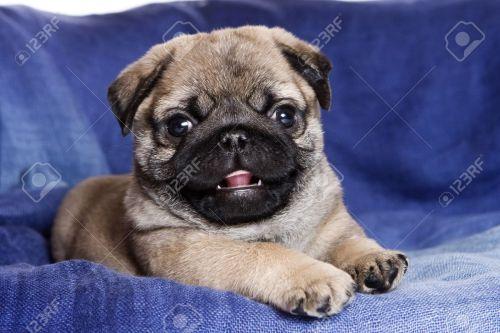 Medium Of Boxer Pug Mix
