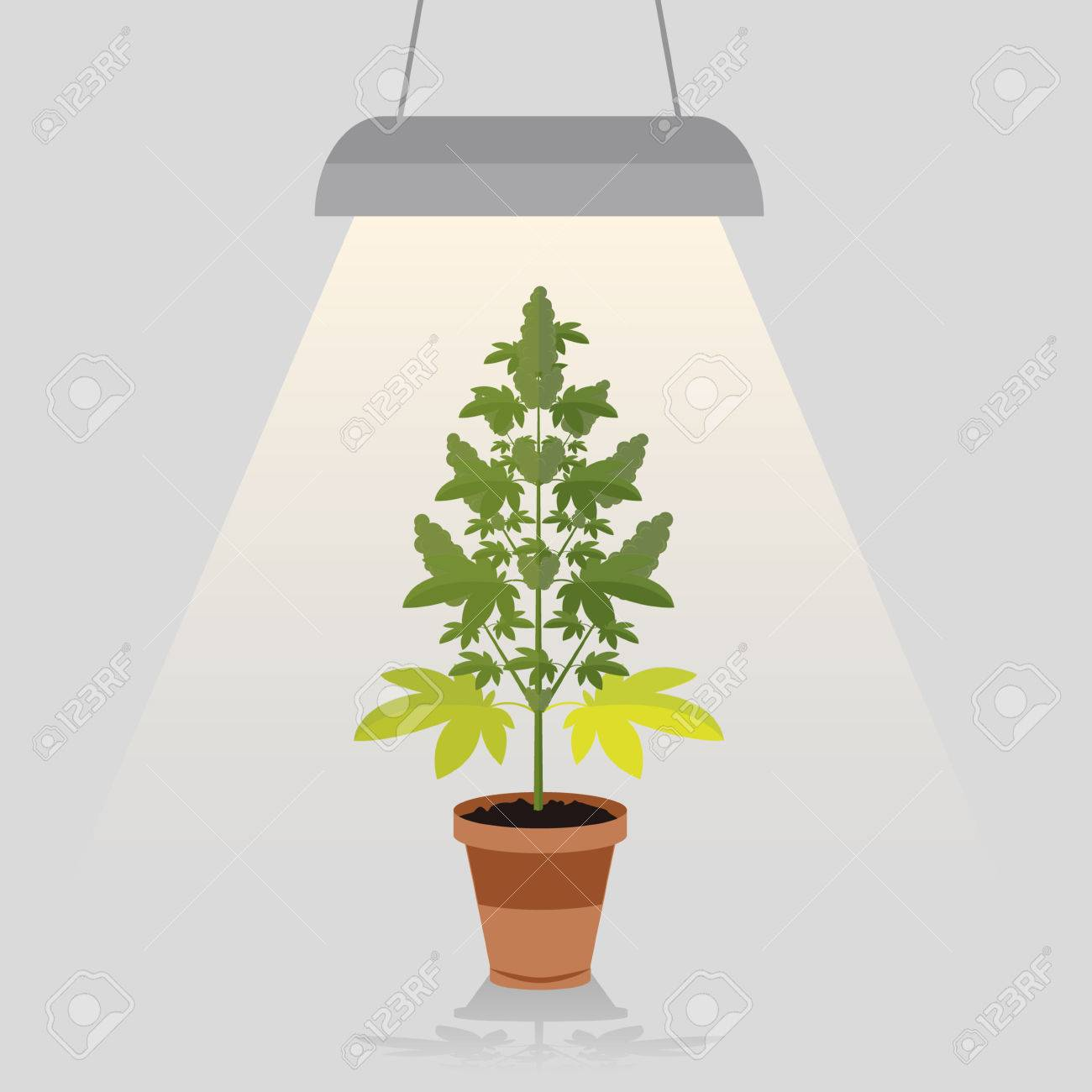 Lamp Plant Medical Cannabis Plant In Pot Legal Under The Built In Lamp Light