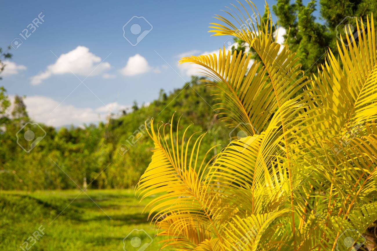 Yellow Palm Leaves Dypsis Lutescens Or Golden Cane Palm Areca Stock Photo Picture And Royalty Free Image Image 140243547