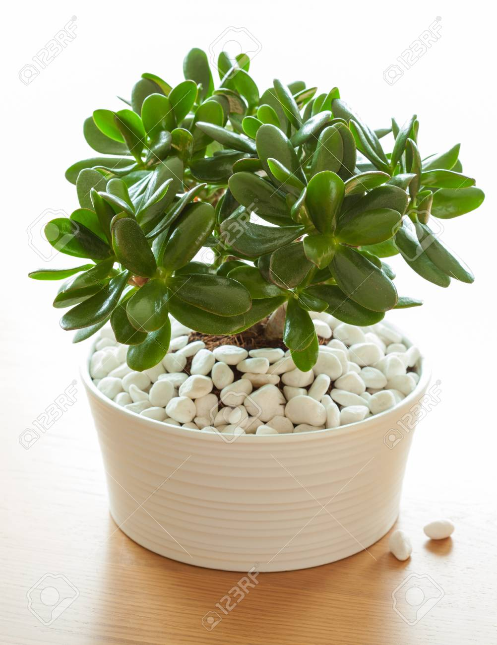 Jade Pflanze Stock Photo