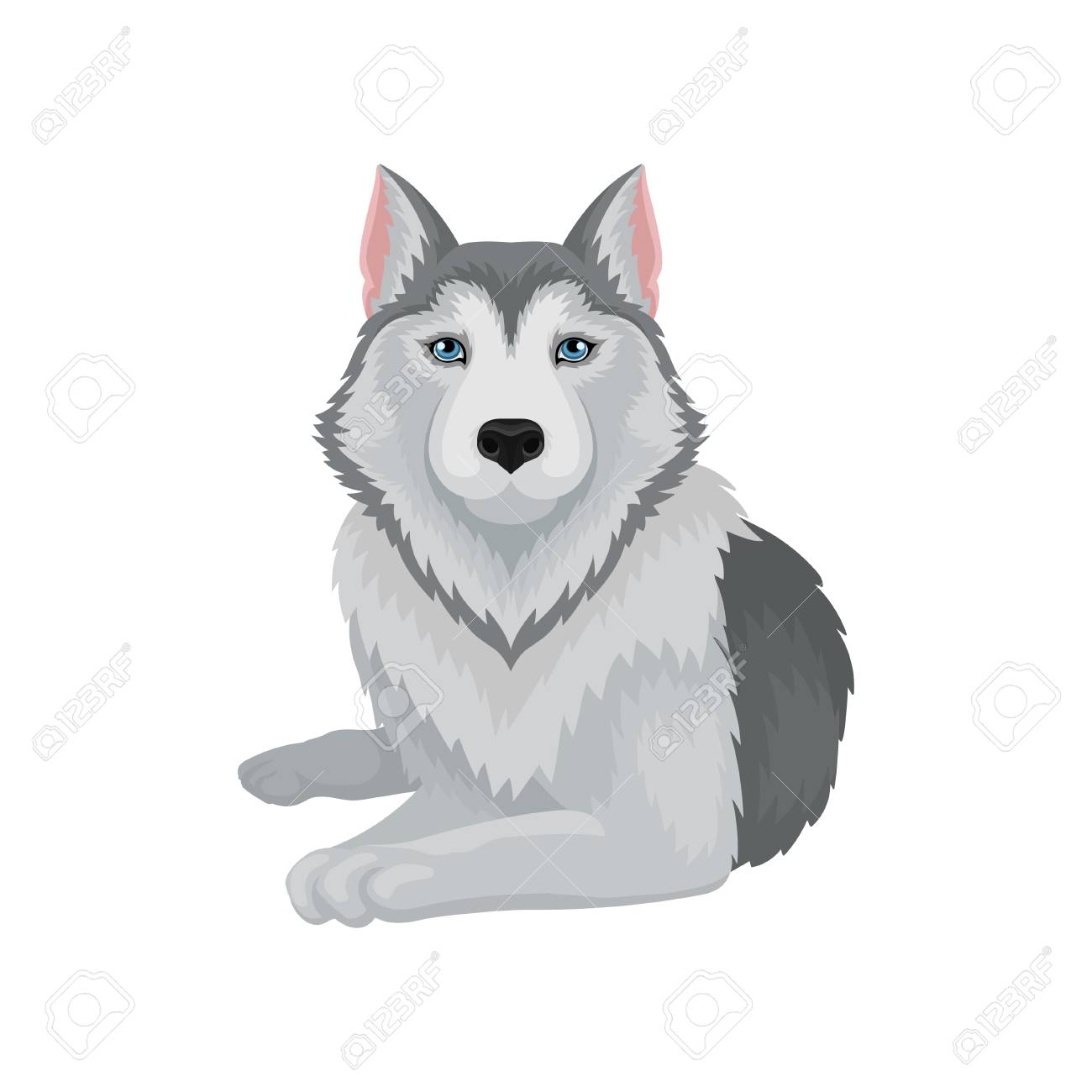 Husky Store Siberian Husky With Serious Muzzle Lying Isolated On White Background