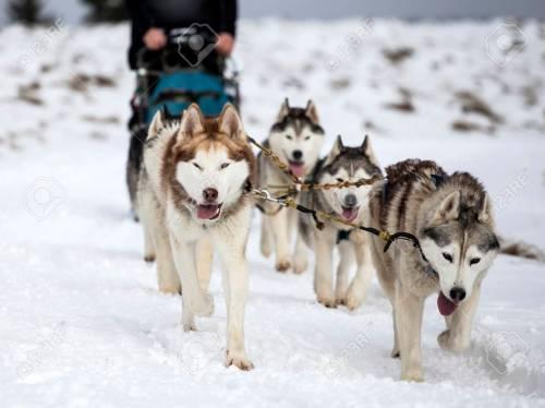 Medium Of Pictures Of Huskies