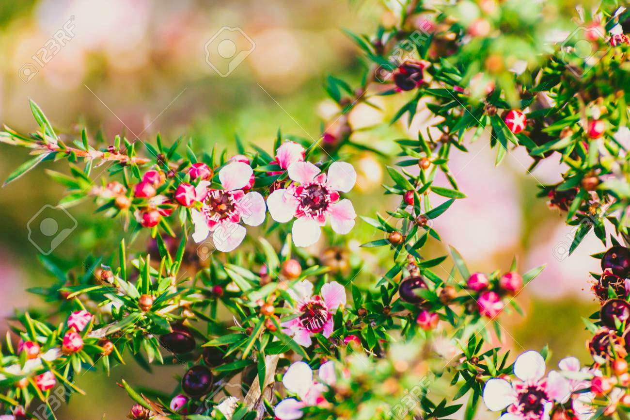 Pink Flowers Australia Tea Tree Plant With Pink Red Flowers Shot At Shallow Depth Of