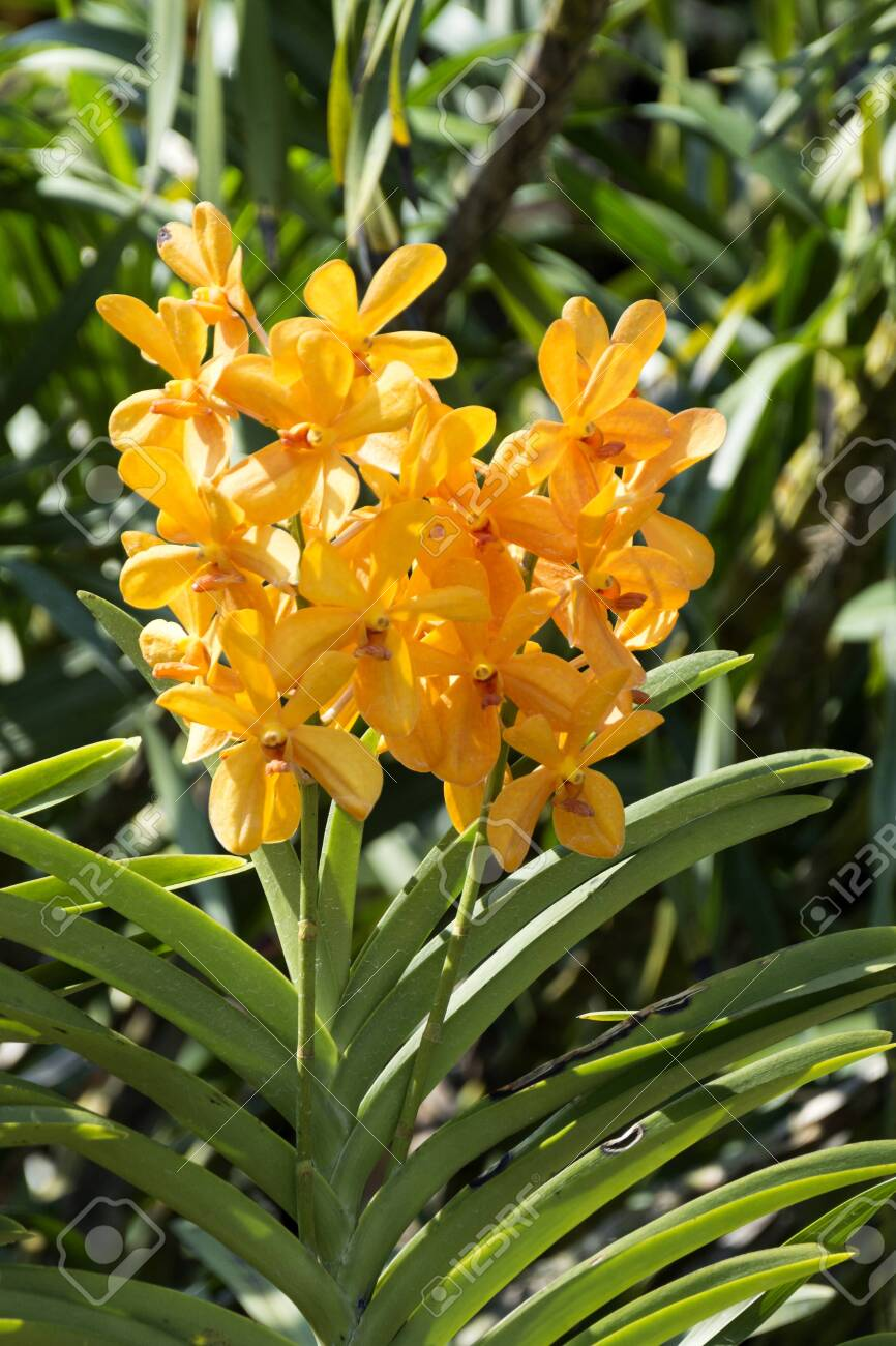 Yellow Vanda Orchid In Garden Stock Photo Picture And Royalty Free Image Image 137645788