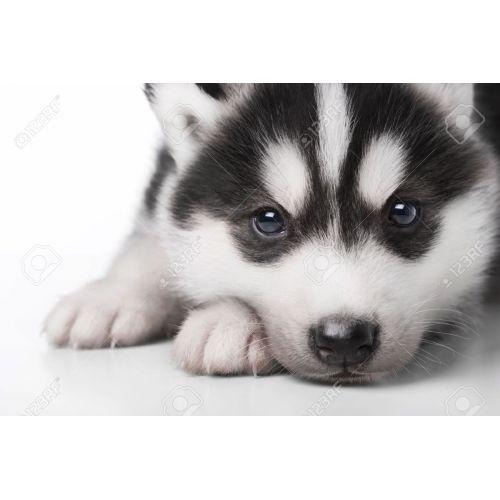 Medium Crop Of Cute Husky Puppies