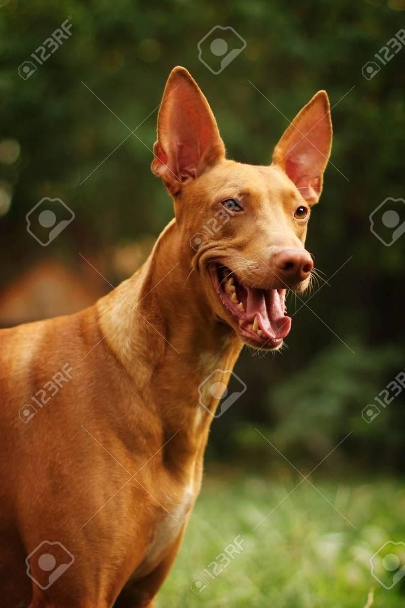 Large Of Red Dog Breeds