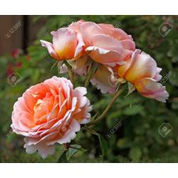 Small Crop Of Abraham Darby Rose
