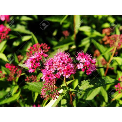 Medium Crop Of Anthony Waterer Spirea
