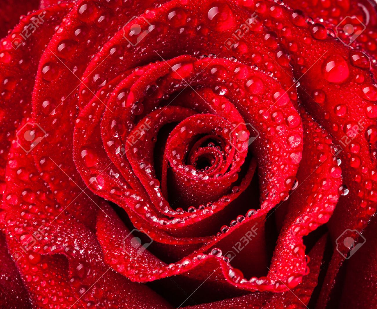 Rose Beautiful Close Up Red Rose