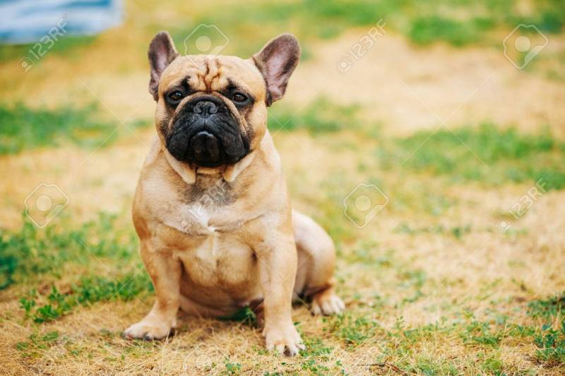 Large Of Dog In French