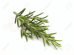 Best Rosemary Anzac Day Studio Stock Photo Sprig Royalty Sprig Rosemary Sprig Studio Stock Rosemary Rosemary To Dry Sprig