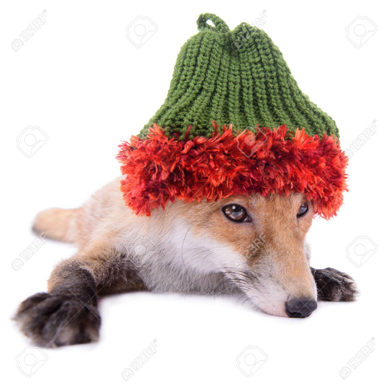 Red fox with a hat new year or christmas animal isolated on white background