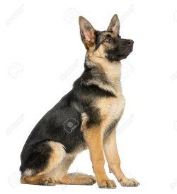 Small Of German Shepherd Sitting